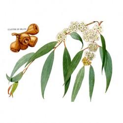 Eukalyptus list 50g