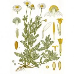 Heřmánek římský květ 20g